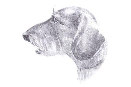 Photo pour La tête du chien - teckel poil - dessin crayon illustration - image libre de droit
