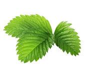 Zelené listy z jahod