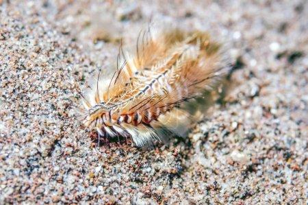 Polychaeta or polychaetes bristle worm