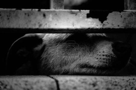 Photo pour Chiens de chenil verrouillés abandonnés, tristesse - image libre de droit