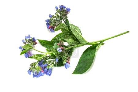 Medicinal plant comfrey (Symphytum officinale) on ...