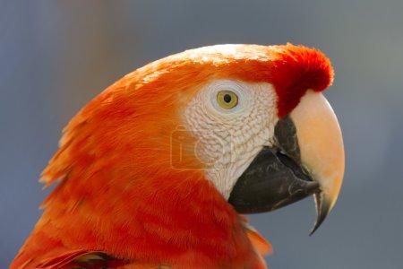Photo pour Tête de gros perroquet rouge - image libre de droit