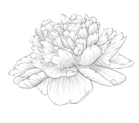 Illustration for Beautiful monochrome black and white peony flower isolated on white background. Hand-drawn contour lines and strokes. - Royalty Free Image
