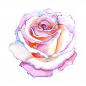 Beautiful rose watercolor hand-painted isolated on white background for greeting cards and invitations of the wedding birthday Valentine's Day mother's day and other seasonal holidays