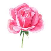 Krásné růžové akvarelem ručně malované izolovaných na bílém pozadí