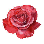 beautiful rose watercolor hand-painted isolated on white background