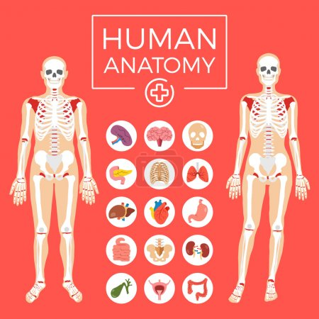 Illustration for Human anatomy. Man and woman body, skeletal system, internal organs icons set. Flat graphic design elements for web banners, websites, infographics, printed materials, etc. Modern vector illustration - Royalty Free Image