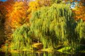 Pond with willow trees in park