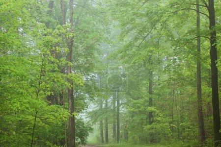 Photo pour Bois de printemps dans le brouillard, forêt de Kellogg, Michigan, é.-u. - image libre de droit