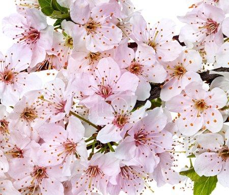 Foto de Ramas de floración apple blossom - Imagen libre de derechos