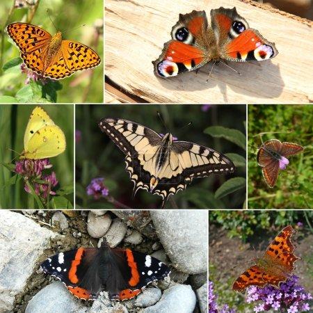 Collage of European butterfly species. Series III