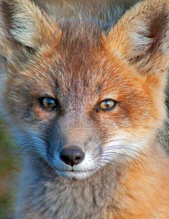 Photo pour Gros plan du jeune renard roux près de son terrier - image libre de droit