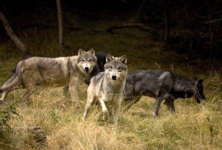 Curious Wolves Pack
