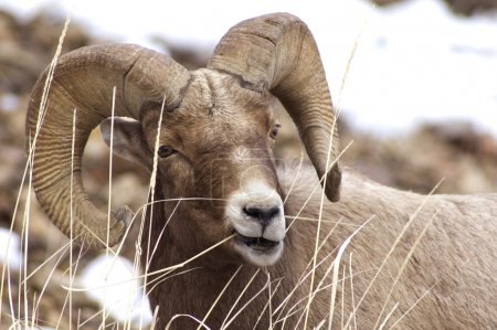 Male Bighorn Sheep