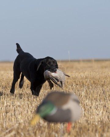A Black Labrador Retriever with a duck in North Da...