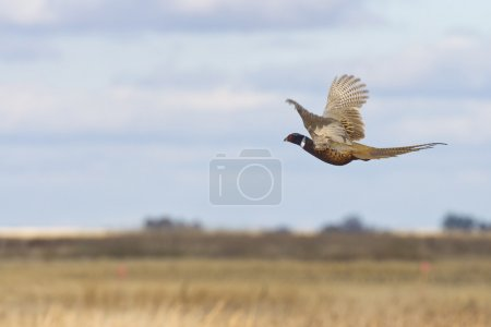 A rooster Pheasant in flight over the prairie...
