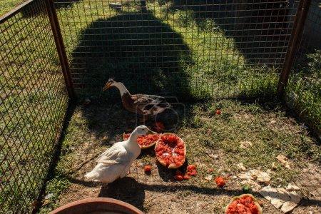 Photo pour Canards debout près de pastèque dans la haie sur l'herbe - image libre de droit