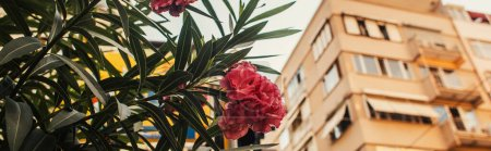 Close up view of pink blooming plant with buildings on blurred background in Istanbul, Turkey, banner