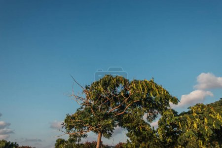 Photo pour Arbre avec graines et ciel bleu à l'arrière-plan - image libre de droit