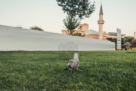 Photo pour Oiseau sur herbe verte et mosquée Mihrimah Sultan en arrière-plan à Istanbul, Turquie - image libre de droit