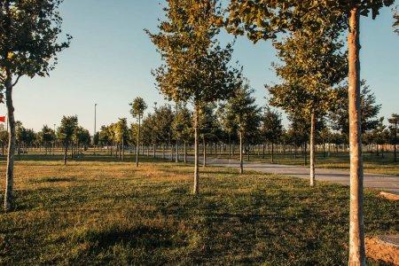 Park mit Plantage junger Platanen