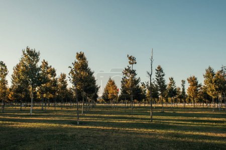 Photo for Plantation of young sycamores on green lawn - Royalty Free Image