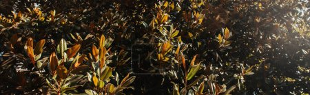 Photo for Magnolia ltree with green, glossy leaves, banner - Royalty Free Image
