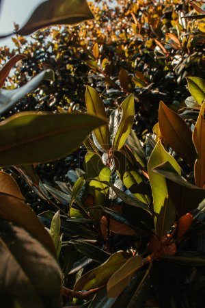 close up view of green, glossy magnolia leaves