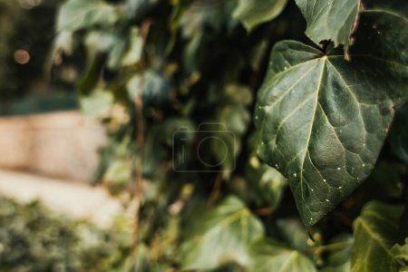 Photo for Close up view of leaf of evergreen ivy - Royalty Free Image