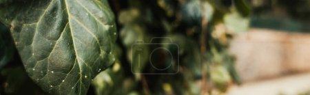Photo pour Vue rapprochée de la feuille de lierre vert, bannière - image libre de droit