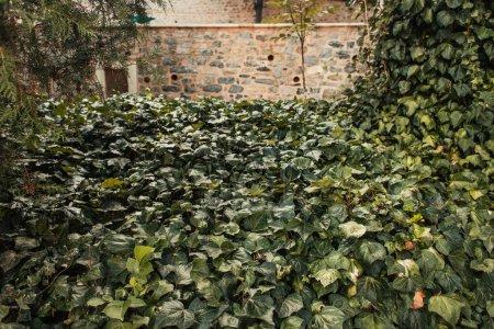 Photo for Evergreen ivy liana near stone wall in park - Royalty Free Image