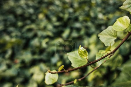 close up view of ivy branch with green leaves