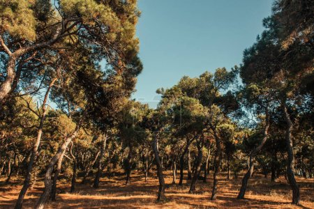 pine trees in forest, and cloudless sky in sunny weather
