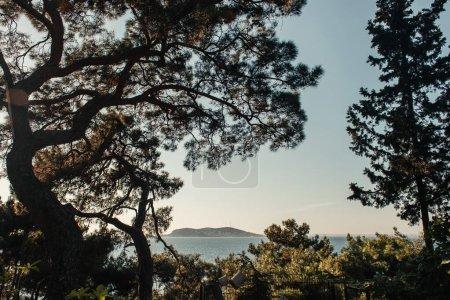 Photo pour Pins à feuilles persistantes sur la colline avec paysage marin - image libre de droit