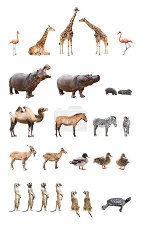 Photo pour Collection des animaux de zoo d'isolement sur le fond blanc - image libre de droit