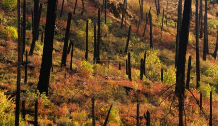 New Growth Begins After Forest Fire Burnt Bark Charred Trees