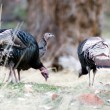 A flock of Turkey scavenges the forest floor for f...