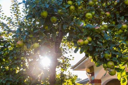 Photo pour Pommes vertes sur branche de pommier prêtes à être récoltées sur la nature - image libre de droit