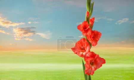 green meadow with gladiola flowers