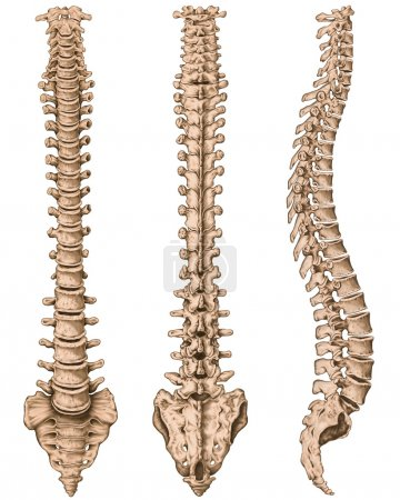 Anatomy of human bony system, human skeletal system, the skeleton, spine, columna vertebralis, vertebral column, vertebral bones, trunk wall, anatomical body, anterior, posterior and lateral view