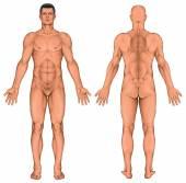 Corpo anatomico maschile, anatomia di superficie, forme del corpo umano, anatomia umana, vista posteriore anteriore, corpo pieno