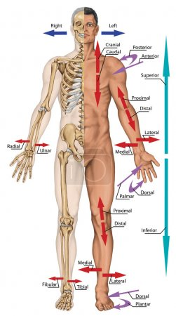 General terms of location and direction, cardinal planes and axes, directional references, directional terms tell us where body parts are located in human anatomy