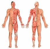 Männlich, maskulin, anatomische Körper des Mannes, Oberfläche Anatomie, Körperformen, Anatomie der Muskulatur, anterior-posterior-Ansicht, Ganzkörper