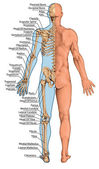 Anatomical board, anatomical body, human skeleton, anatomy of human bony system, surface anatomy, body shapes, posterior view, full body
