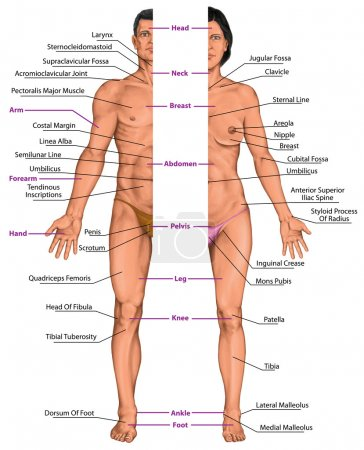 Photo for Male and female anatomical body, surface anatomy, human body shapes, anterior view, parts of human body, general anatomy - Royalty Free Image