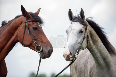 Two horses, white and chesnut