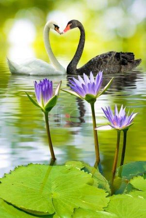 Photo pour Lotus dans l'eau et les cygnes - image libre de droit