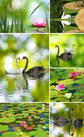 Photo pour Belles fleurs de lotus et cygnes gros plan - image libre de droit