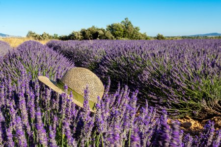 Lavender fields with hat in summer, Provence, France