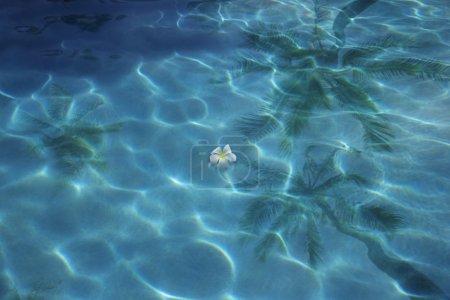 Frangipani flower in swimming pool
